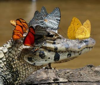 صور تمساح يحب الفراشات