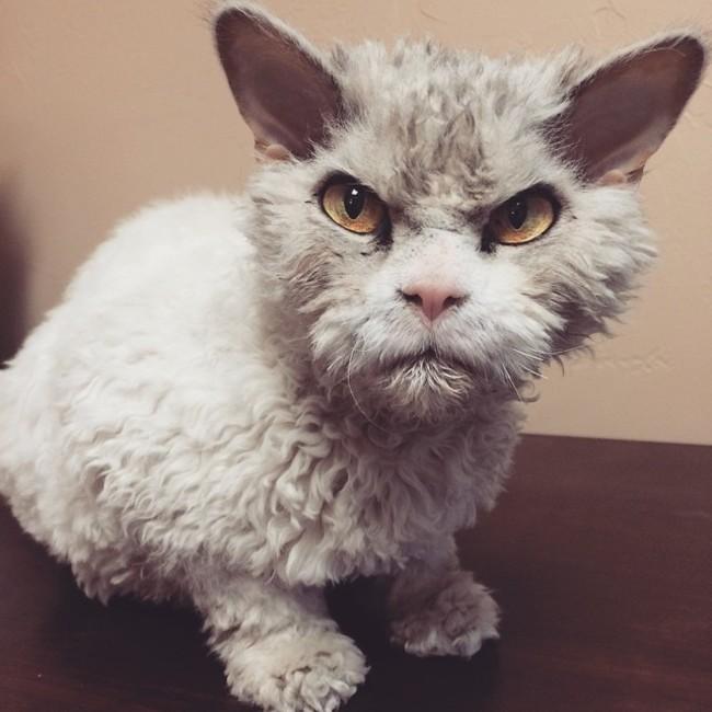 Chat Furieux chat le plus furieux et terrifiant dans le monde - photos d'animaux
