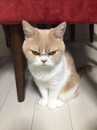 قط جميل غاضب دائما