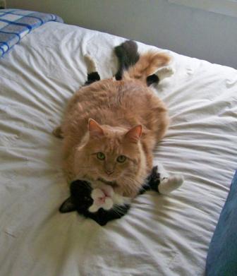 الحب عند القطط